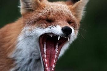 В Сарове бешеные лисы нападают на людей