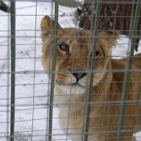Львица напала на сотрудника зоопарка в Нижнем Новгороде