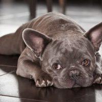 Нижегородку обвинили в мошенничестве при продаже собак китайцам