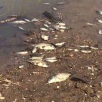 В Нижегородской области расследуют массовую гибель рыбы