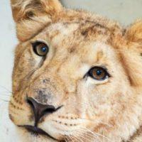 В Нижнем Новгороде львица напала на работника зоопарка