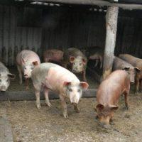 Новая вспышка АЧС свиней зафиксирована в Нижегородской области