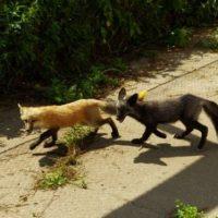 Две больные бешенством лисицы напали на людей в Сарове